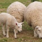 Овцеводство в Глусском районе.  Как было раньше и что будет дальше