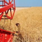Редакционная диспетчерская. Уборка зерновых продолжается