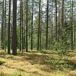 Глусский лесхоз: от питомника до экспорта